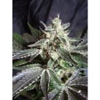 Sweet Seeds Black Jack Auto Feminised Seeds