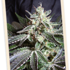 Sweet Seeds Black Jack FAST Version Feminised Seeds