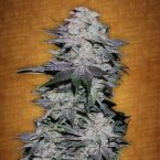 Fast Buds Blackberry feminised seeds
