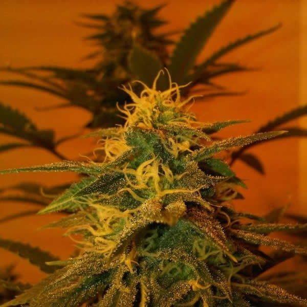 Nirvana Seeds Black Jack Regular Seeds