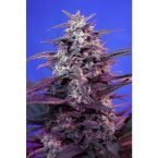 Sweet Seeds Bloody Skunk AUTO Feminised Seeds