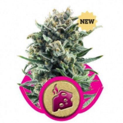 Royal Queen Seeds Blue Cheese Feminised Seeds