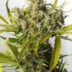 Dinafem Blue Critical Auto Feminised Seeds