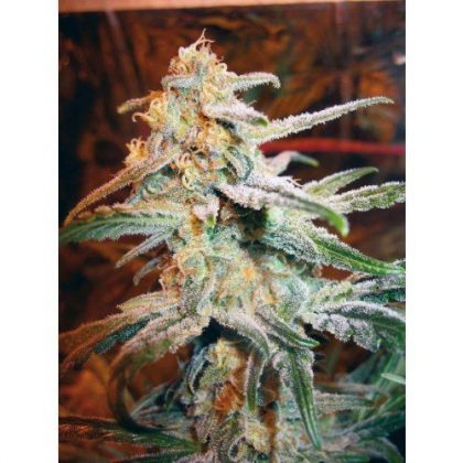 Nirvana Seeds Blue Mystic Feminised Seeds