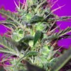 Sweet Seeds Botafumeiros Feminised Seeds
