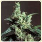KC Brains Brains Damage Feminised Seeds