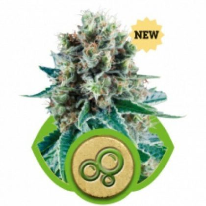 Royal Queen Seeds Bubble Kush AUTO Feminised Seeds