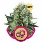 Royal Queen Seeds Bubble Kush Feminised Seeds