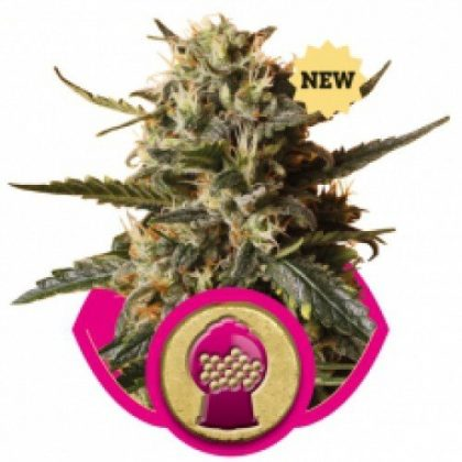 Royal Queen Seeds Bubblegum XL Feminised Seeds