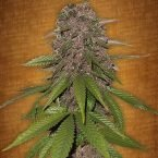 Fast Buds C4-matic feminised seeds