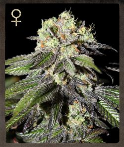 Strain Hunters Caboose Feminised Seeds