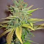Seedsman California Orange Feminised Seeds
