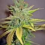 California Orange Feminised Seeds
