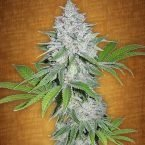 Fast Buds California Snow feminised seeds