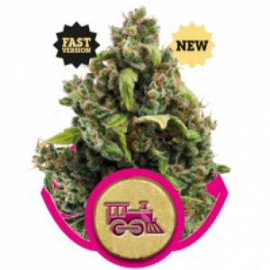 Royal Queen Seeds Candy Kush Express FAST Feminised Seeds