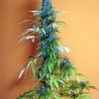 Seedsman Candy Cream Feminised Seeds