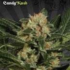 Auto Seeds Candy Kush