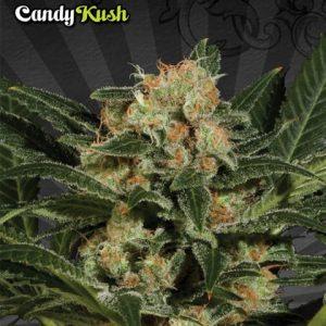 Auto Seeds Candy Kush