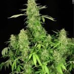 Serious Seeds CBD Chronic female seeds