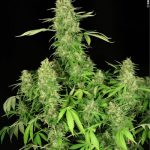 CBD Chronic female seeds