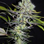 Seedsman CBD Sweet 'n Sour Widow Regular Seeds