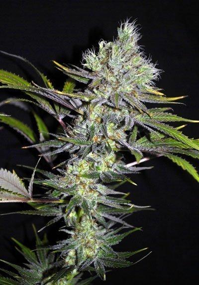 Seedsman Seedsman CBD Sweet 'n Sour Widow Regular Seeds
