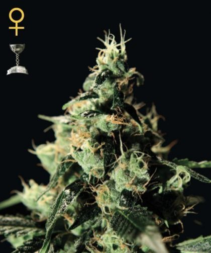 Greenhouse Seed Co. Chem Dog Feminised Seeds
