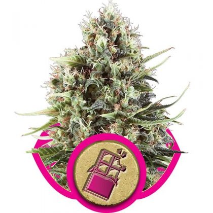 Royal Queen Seeds Chocolate Haze Feminised Seeds