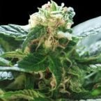World of Seeds Colombian Gold Feminised Seeds