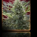 Sweet Seeds Cream 47 Feminised Seeds