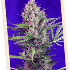 Sweet Seeds Cream Mandarine FAST Version Feminised