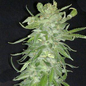 KC Brains Cristal Paradise Feminised Seeds