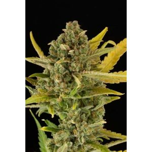 Dinafem Critical Cheese Feminised Seeds