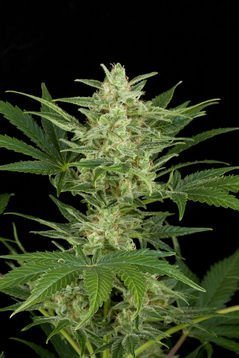 Dinafem Critical Jack Automatic Feminised Seeds