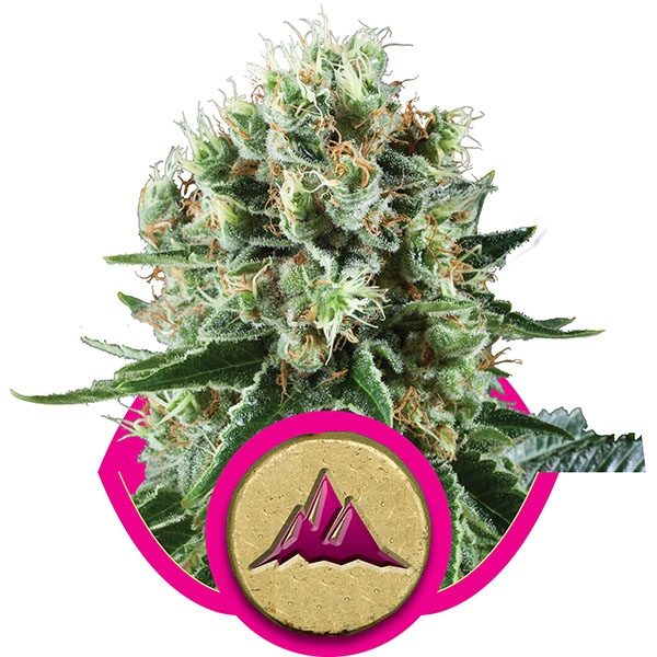 Royal Queen Seeds Critical Kush Feminised Seeds