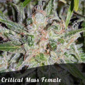 Bulk Seeds Critical Mass female seeds