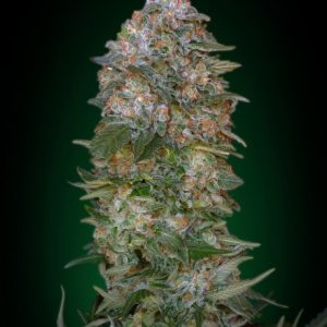 Advanced Seeds Critical Soma Feminised seeds