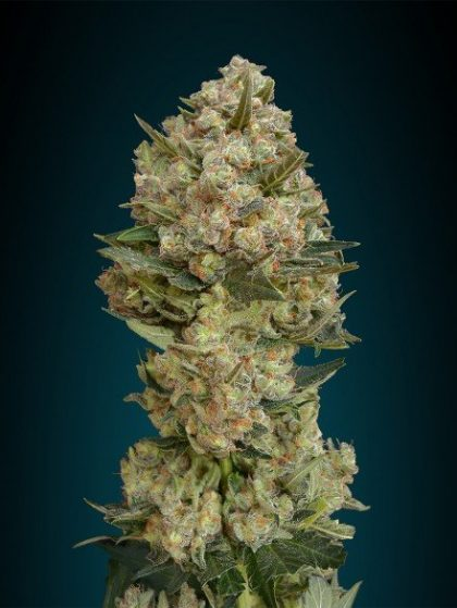 Advanced Seeds Critical Feminised seeds