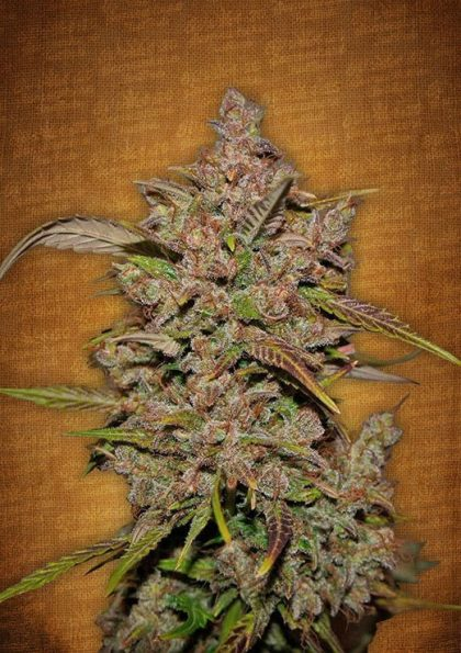 Fast Buds Crystal M.E.T.H feminised seeds