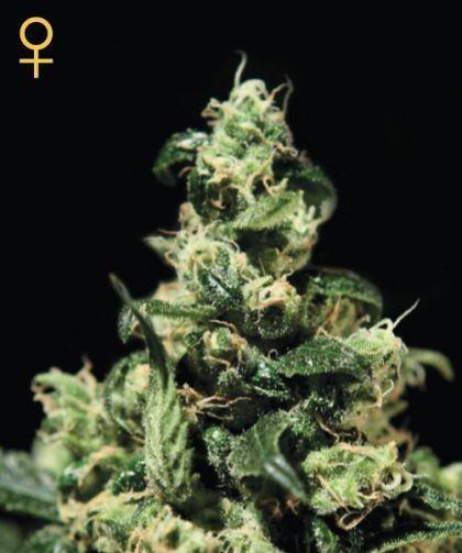 Greenhouse Seed Co. Damn Sour Feminised Seeds
