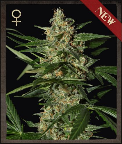Strain Hunters Damnesia Feminised Seeds