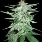 World of Seeds Delirium Feminised Seeds