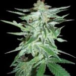 Delirium Feminised Seeds