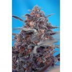 Sweet Seeds Devil Cream AUTO Feminised Seeds