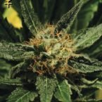 Greenhouse Seed Co. Diamond Girl Feminised Seeds