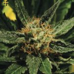 Diamond Girl Feminised Seeds