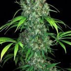 Serious Seeds Double Dutch regular seeds
