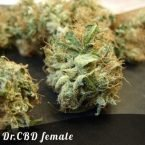 Bulk Seeds Dr. CBD female seeds
