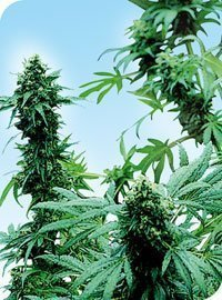 Sensi Seeds Early Skunk Feminised Seeds