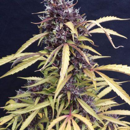 Seedsman Easy Ryder Autoflowering Feminised Seeds